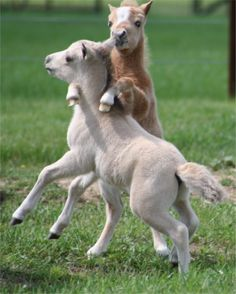 Miniature horse foals at play ~~ who can resist!!!   <3 <3