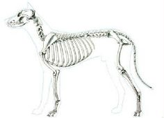 Canine skeleton Found on a great site, with many diffrent references on how to draw a wolf, human and many other animals. Skeleton, muscles, different body parts. Animal Species, Bird Species, Dog Anatomy, Animal Anatomy, Pancreatitis In Dogs, Dog Chart, Dog Skeleton, Skeleton Muscles, Animal Skeletons