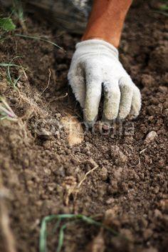 Kartoffeln vorsichtig am Herausgrabe