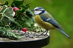 Free Image on Pixabay - Nature, Animal, Bird, Tit, Blue Tit Beautiful Birds, Love Birds, Bird Meme, Blue Tit, Winter Photos, Bird Drawings, Bird Skull, Nature Animals, Birds In Flight
