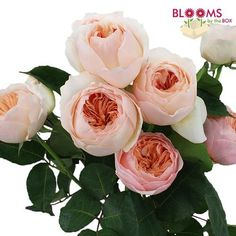Wholesale Garden Rose Juliet Peach - Garden Roses, Cabbage Roses - Blooms by the Box