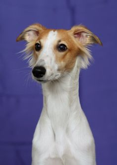 Say what?! Longhaired Whippet?