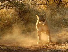 Lioness at Ivory Tree Game Lodge. Game Lodge, Sun City, Volcano, Wildlife, Elephant, Ivory, Animals, Paradise On Earth, Animaux