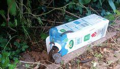 Denna hemgjorda snigelfällan kostar under 1 krona och utrotar mördarsniglar på rekordtid!