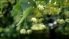 Dandelion, Vogue, Flowers, Plants, Dandelions, Plant, Taraxacum Officinale, Royal Icing Flowers, Flower