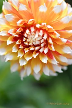 ~~Dahlia being Dreamy   Bicolor golden orange with white tips   by Robin Evans~~