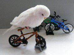 Parakeet on bicycle.