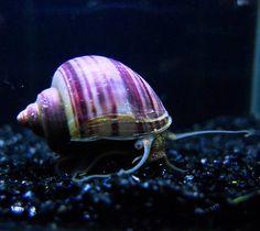 Dark Purple Mystery Snail 紫衣神秘螺_Snail_Live Stock_Aquatic ...
