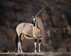 Africa |  an Oryx in a dry riverbed in the Hoanib region of Northern Namibia | © David Lloyd
