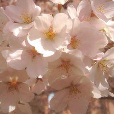 Appel Blossom.
