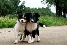 chiots/border-collie