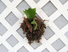 The Staghorn starts small, sometimes mounted on the wall.  They grow and arch downward, growing to a huge size.