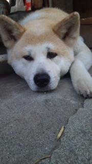 sleepy Akita
