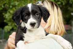 Faith is a 4 month old female spaniel mix puppy looking for her forever home!! She will be at PetSmart today from 3-7. She is available for adoption through Texas Star Rescue in Longview, Texas #TSRadopt #rescue #dog #adopt #texasstarrescue #DogTales #woof #rescuedismyfavoritebreed #adoptdontshop #helpsavealife #spaniel #puppies