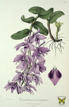 Dendrobium anosmum (as Dendrobium macrophyllum). Powerfully fragrant lavender flowers, spotted burgundy on sides of lip. Bloom is in early spring, each pseudobulb can produce 100 flowers.  Sertum Orchidaceum by John Lindley (1840) [S.A. Drake] | by Swallowtail Garden Seeds