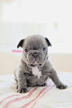 Bulldog Puppy - Dog