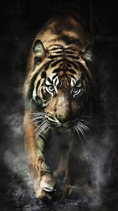 Tiger Wild Cat Wallpaper #Tiger #Wild_cats #Wallpaper