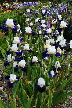 Iris Noctambule