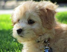 07/31/2015: Hallie the Poodle Mix