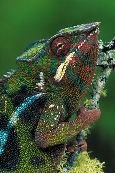 Panther chameleon (Furcifer pardalis), Andasibe, Madagascar.  (Rainforest photography by Thomas Marent)