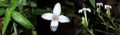Biodiversity of Sri Lanka: Knoxia spicata