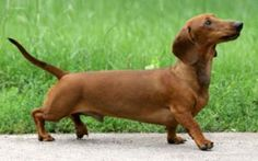 anjing Dachshund