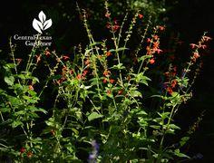 Red Salvia coccinea Central Texas Gardener