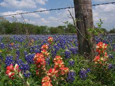 Texas Bluebonnet & Indian Paintbrush Field