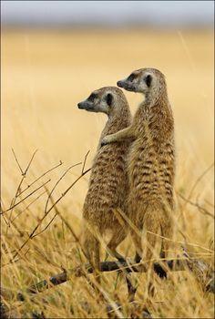 いつか見に行く、ミーアキャット。 アフリカのカラハリ砂漠に。  landscapelifescape:  Meerkat, Makgadikgadi Pan National Park, Botswana, Africa