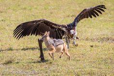 Haltet den Dieb ;-)   Schabrakenschakal vs. Ohrengeier.   Masai Mara.   Kenia.    www.ingogerlach.com