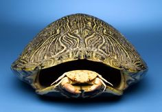 Traditional Native American rattles use turtle shells as shakers. --How to make a Native American Turtle Rattle Native American Regalia, Native American Crafts, American Indian Art, Native American Jewelry, Native Indian, Native Art, Blackfoot Indian, Indian Tribes, Shell Animals