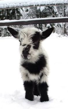 Dwarf GoatsPelican Acres Nigerian Dwarf Goats Another Nigerian Dwarf - must have one now! 12 Adorable Baby Goats - Pets Tips & Advice Mini Goats, Cute Goats, Baby Goats, Funny Goats, Baby Pygmy Goats, Cute Baby Animals, Farm Animals, Animals And Pets, Funny Animals