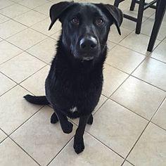 Nuevo, California - Labrador Retriever. Meet Zero, a for adoption. https://www.adoptapet.com/pet/15803825-nuevo-california-labrador-retriever-mix