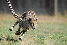 Cheetah running lure course at Cheetah Outreach (click pic for link to more enrichment at Cheetah Outreach).