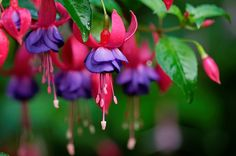 Fuschia flowers.  I love these and so do my hummingbirds!