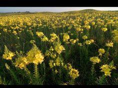 Evening primrose Platte River Prairie
