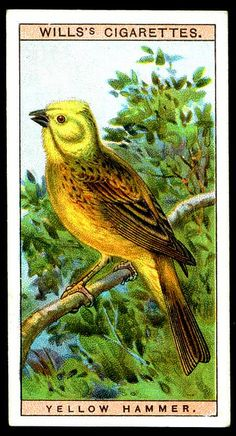 "#12 Yellow Hammer - Will's Cigarettes, ""British Birds"" (series of 50 issued in 1915) 