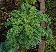 Brassica oleracea var. sabellica Herbs, Plants, Herb, Plant, Planets, Medicinal Plants