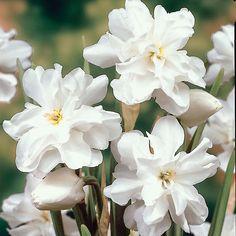 LJILJANA Луковичные Цветы, Нарциссы, Белые Цветы, Красивые Цветы, Цветок Нарцисс, Обои С Цитатами, Садоводство, Сад, Ирисы
