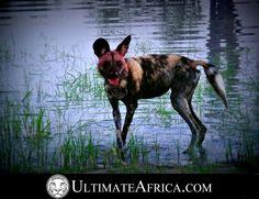 African Safari , Wild dog @ Chitabe , #africa #safari #african safari #africansafari #Chitabe #Ultimateafrica #animal #animals #Botswana #okavango #okavango delta #okavangodelta #holiday #vacation #luxurysafari #luxury safari #wildlife #nature #wilddog #wilddogs #dog #wateringhole #reflection