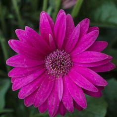Gerbera 'Sweet Dreams' - Perennial & Biennial Plants - Thompson & Morgan