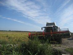 Empezó la #siega de #arroz en la #MarjalPegoOliva. Pronto tendremos los nuevos saquitos en #PegoNatura. Este año la coseña se ha visto mermada por la climatología.