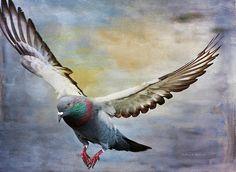 Pigeon On Wing by Deborah Benoit Nicolas Vanier, Pigeon Pictures, Pigeon Breeds, Pigeon Loft, Dove Pigeon, Racing Pigeons, Bird Graphic, Chicken Painting, Bird Artwork