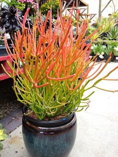 Euphorbia tirucalli ('Stick of fire', 'Fire sticks', 'Fire pencil cactus'). This is actually a succulent rather than a cactus.