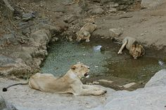 Filling Thirsty. Asiatic Lions - Panthera Leo Persica at a water hole at Gir Forest National Park and Wild Life Sanctuary which is sole home of Asiatic Lions in the World situated at Sasan Gir in Gujarat, India
