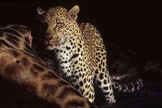 Leopard on giraffe by Gavin Lautenbach