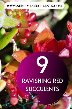 Take a look at these ravishing red succulents compilation. These red succulents are surely a must-have to your garden. Find it all here! Red Succulents, Flowering Succulents, Indoor Succulents, Growing Succulents, Red Plants, Cactus Plants, Outdoor Landscaping, Outdoor Gardens, Red Cactus