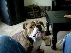 ▶ Jabba the talking Bulldog - YouTube