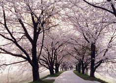 桜並木  #京都 #春 #kyoto #spring #japan