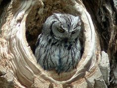 owls | Owl Pictures (I'll add more as I get them- check back!) © Bill ...